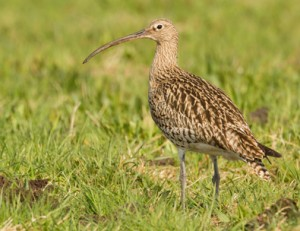 Curlew in a field