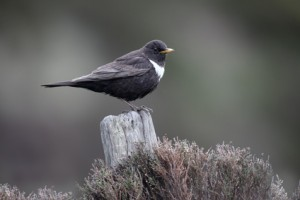 Ring Ouzel standing on a post